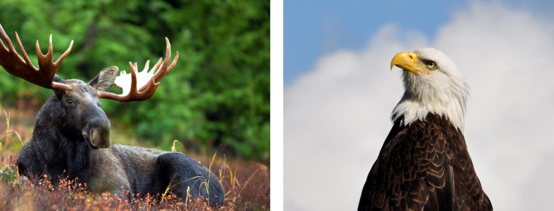 Side-by-side images of a moose (Canadian mascot) and Bald eagle (American mascot).