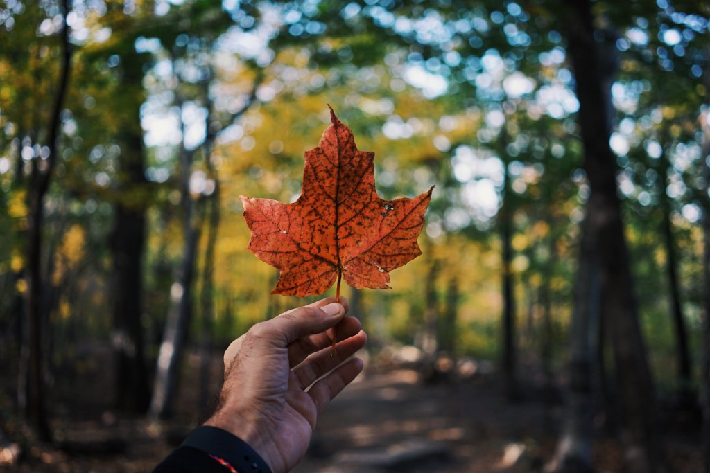 Point of view of a person holding a maple leaf up to a forest background.